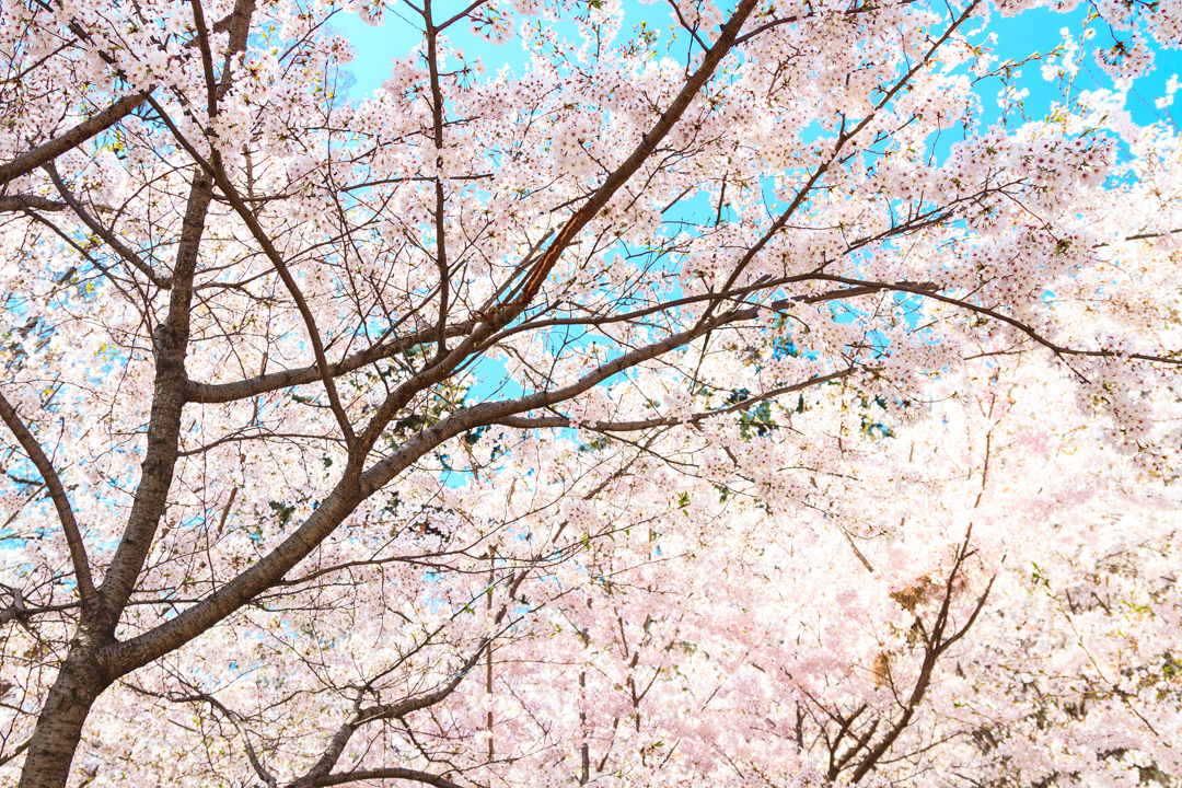 5 Great Places to See Cherry Blossoms in Ulsan